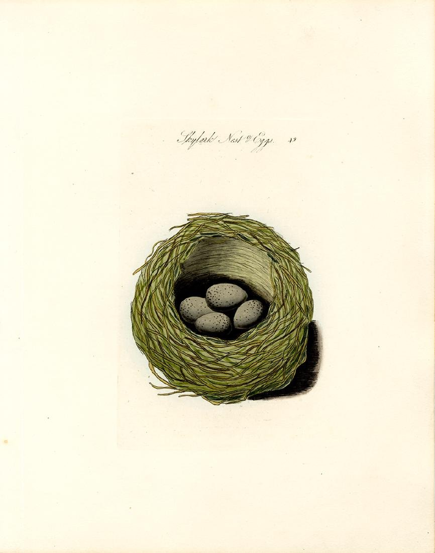 Skylark Nest and Eggs - 2