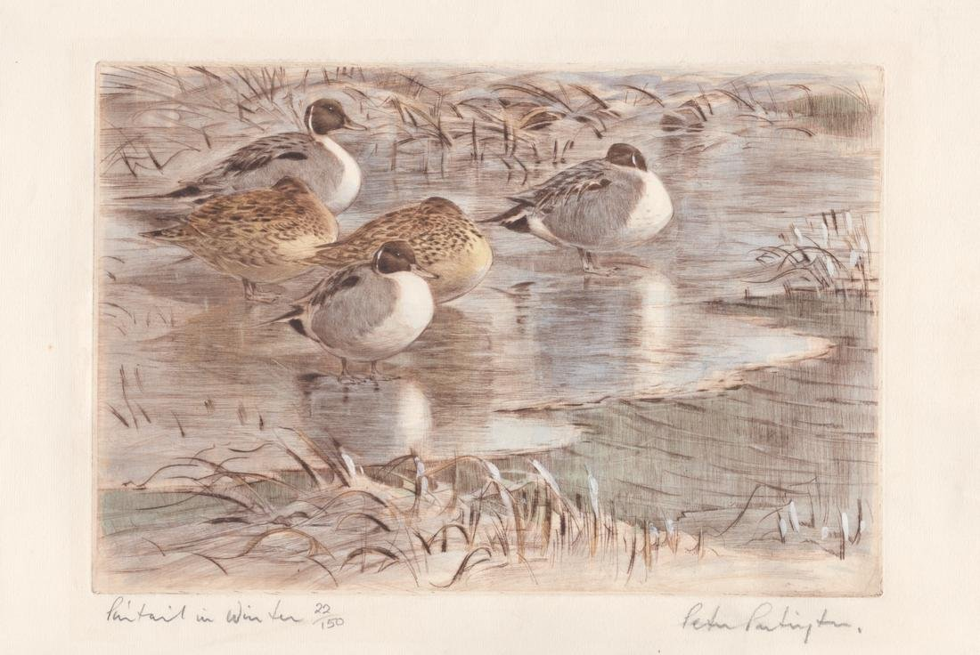 Pintail in Winter