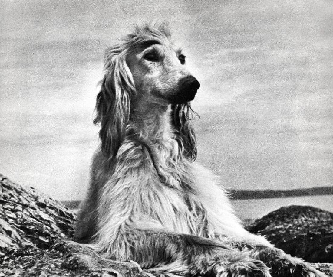 LAURANCE A PETERS - Afghan Hound