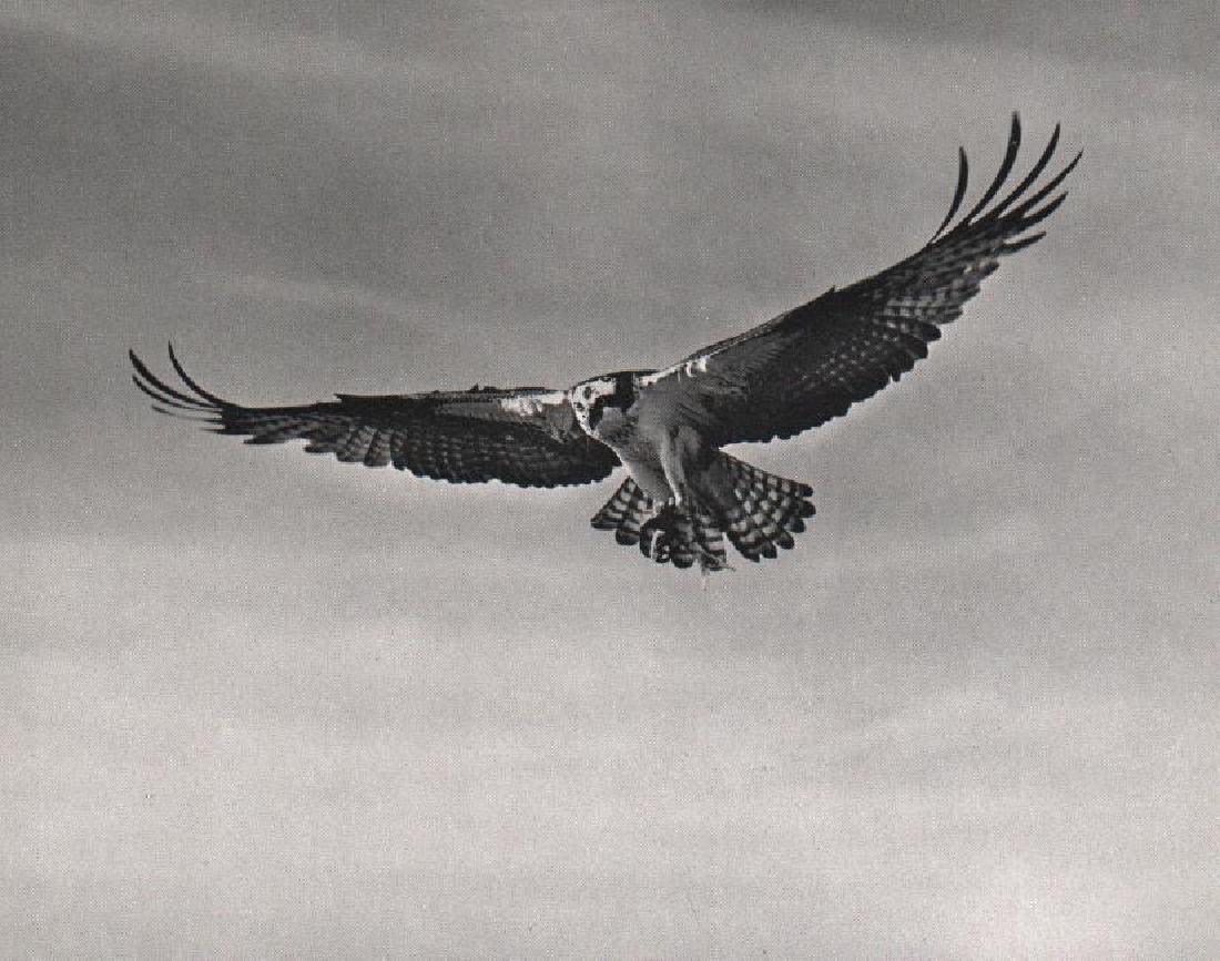 ELLIOT PORTER - Osprey