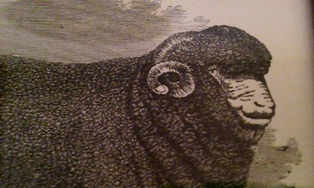Framed Sheep Engraving - 2