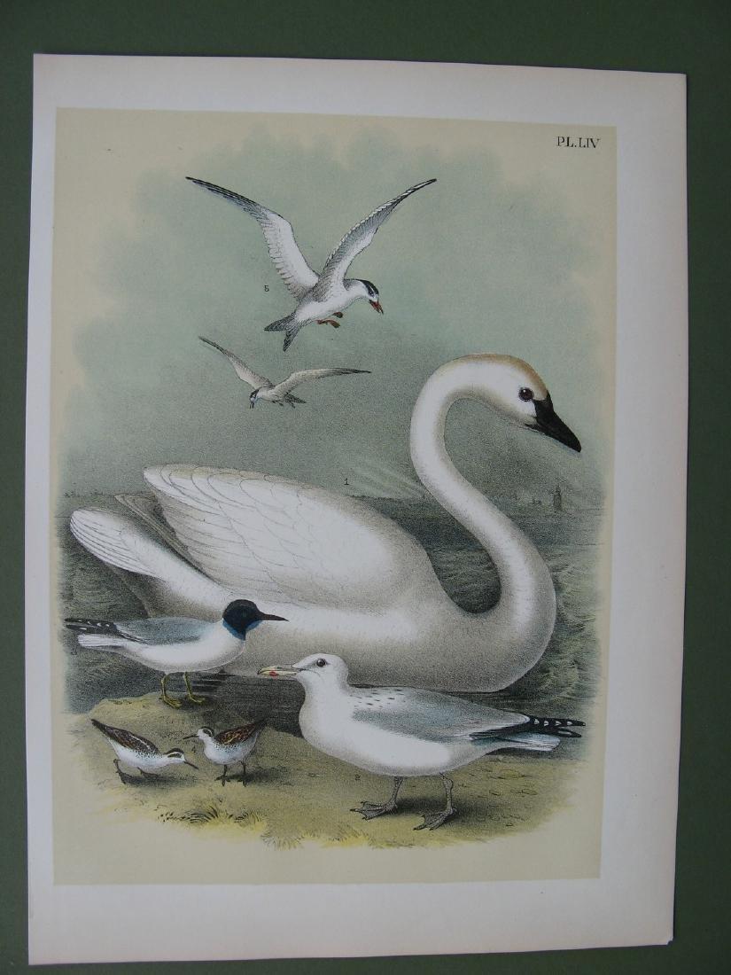 Trumpeter Swan, herring gulls by Theodore Jasper