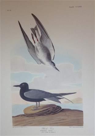 Audubon: Black Tern Pl. CCLXXX