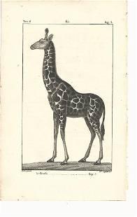 1821 Buffon Engraving of Giraffe