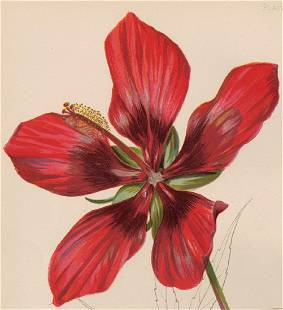 Meehan American Scarlet Rose-Mallow/ Hibiscus Coccineus
