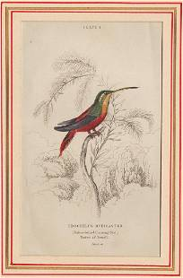 1833 Rufous-bellied Hummingbird by W.Jardine.
