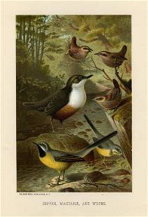Dipper, Wagtails, and Wrens, Rev. J. G. Wood