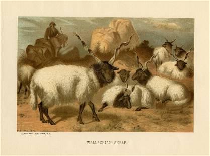 Wallachian Sheep, Rev. J. G. Wood (1827-1889).