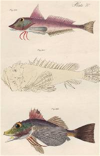 1842 James DeKay hand-colored engraving of Fish