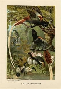 Paradise Flycatchers, Rev. J. G. Wood (1827-1889).