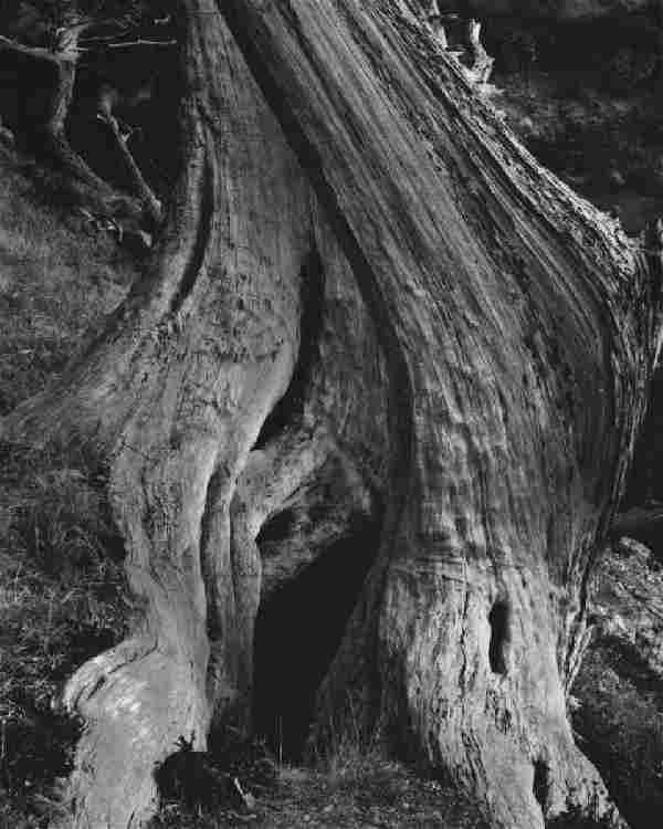 EDWARD WESTON - Cypress