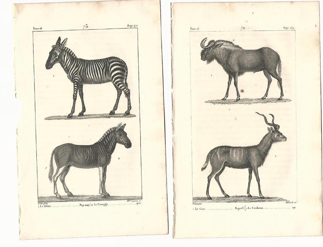 Four Buffon Engravings Zebra Quadrepeds, 1821 - 2
