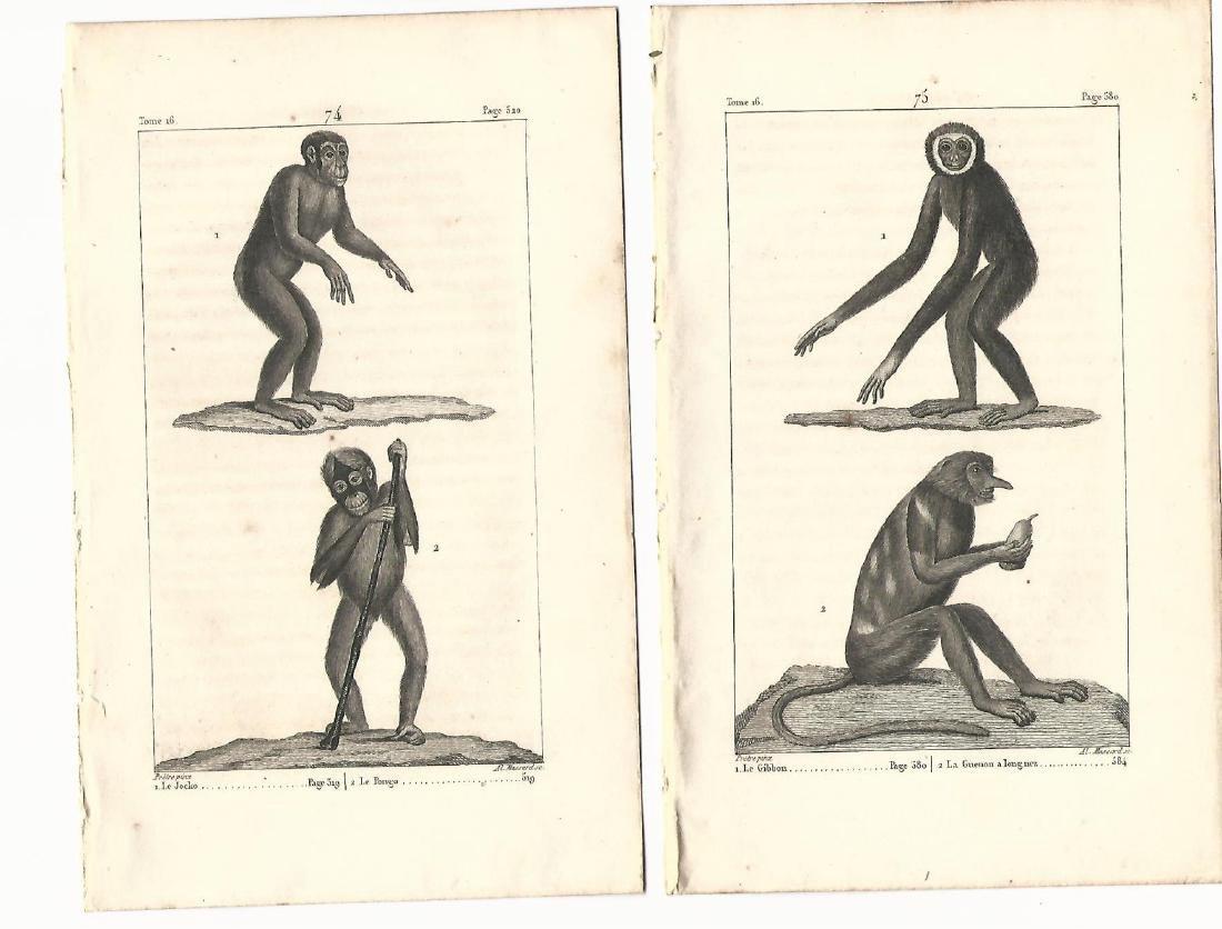Two Buffon Engravings Monkeys, 1821