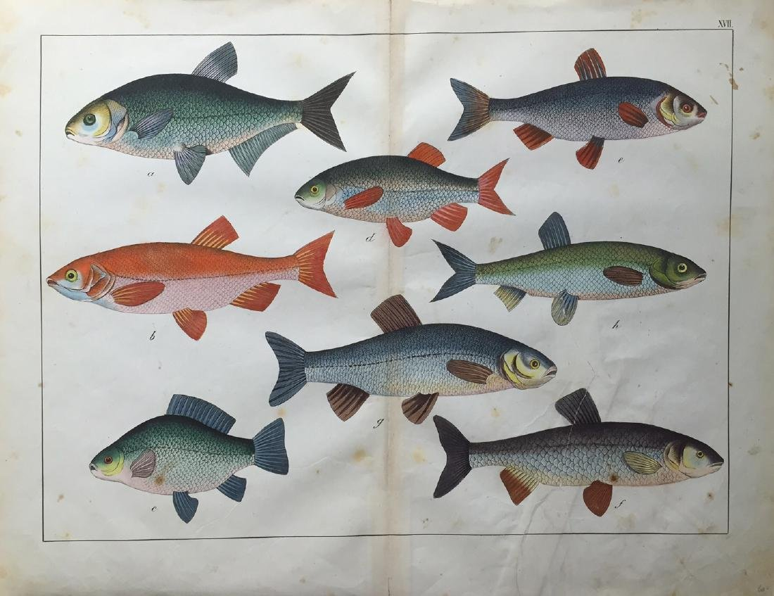 Unknown Artist: Fish Print, 1870