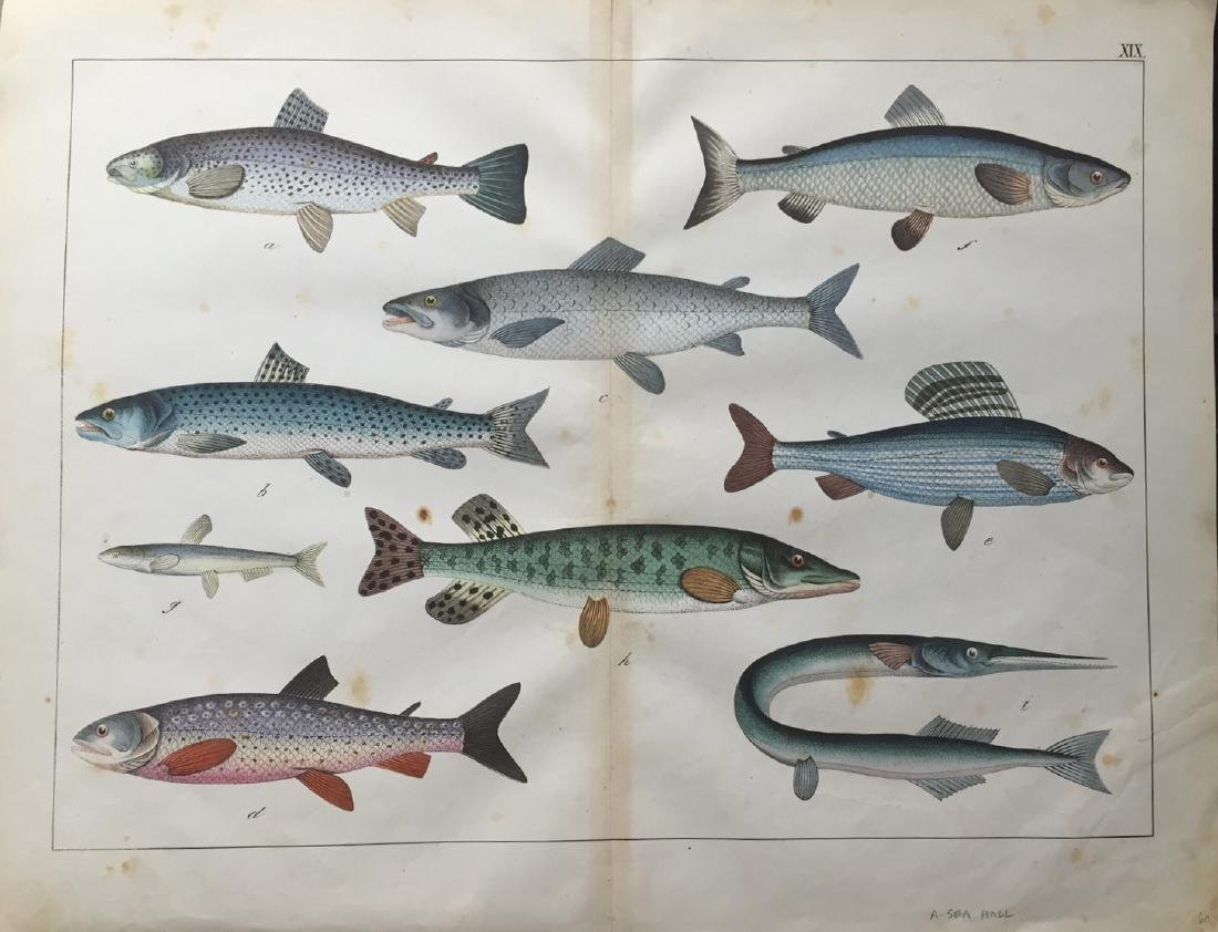 Unknown Artist: Fish Print, 1870