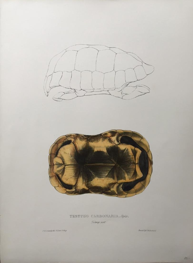 Edward Lear: Turtles, Terrapins & Tortoises, 1870