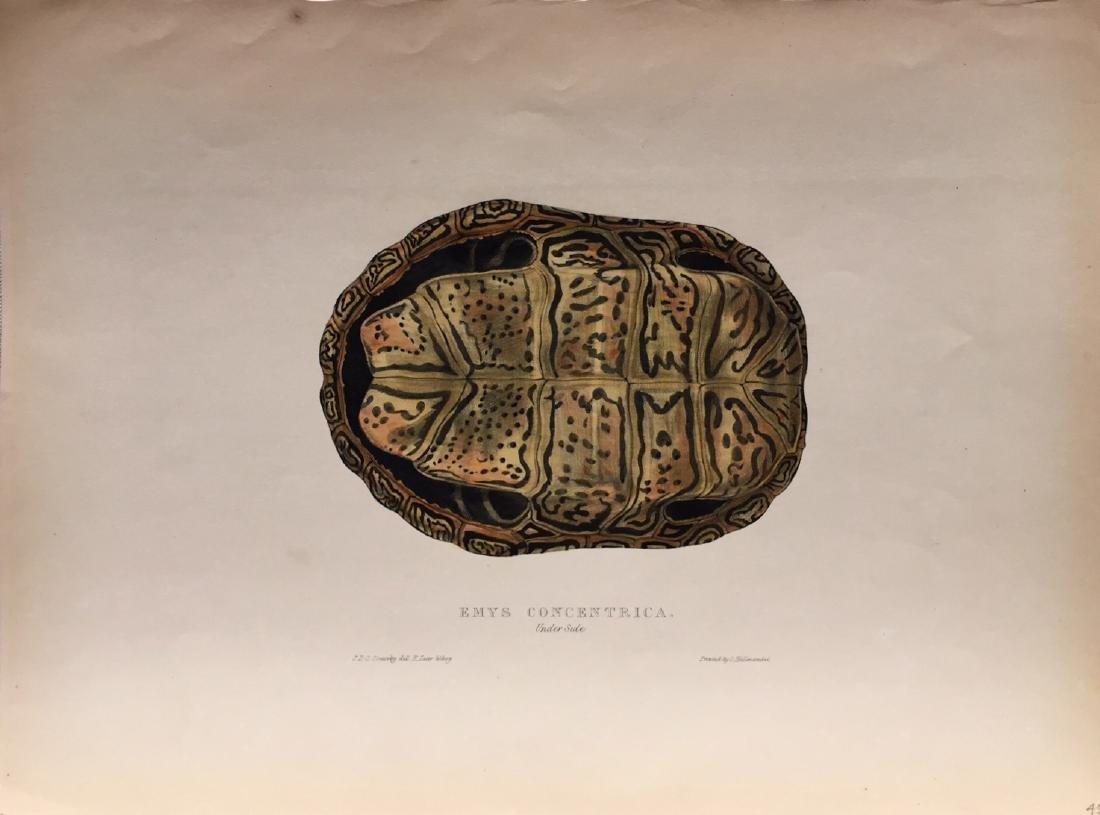 Turtles, Terrapins & Tortoises by Edward Lear