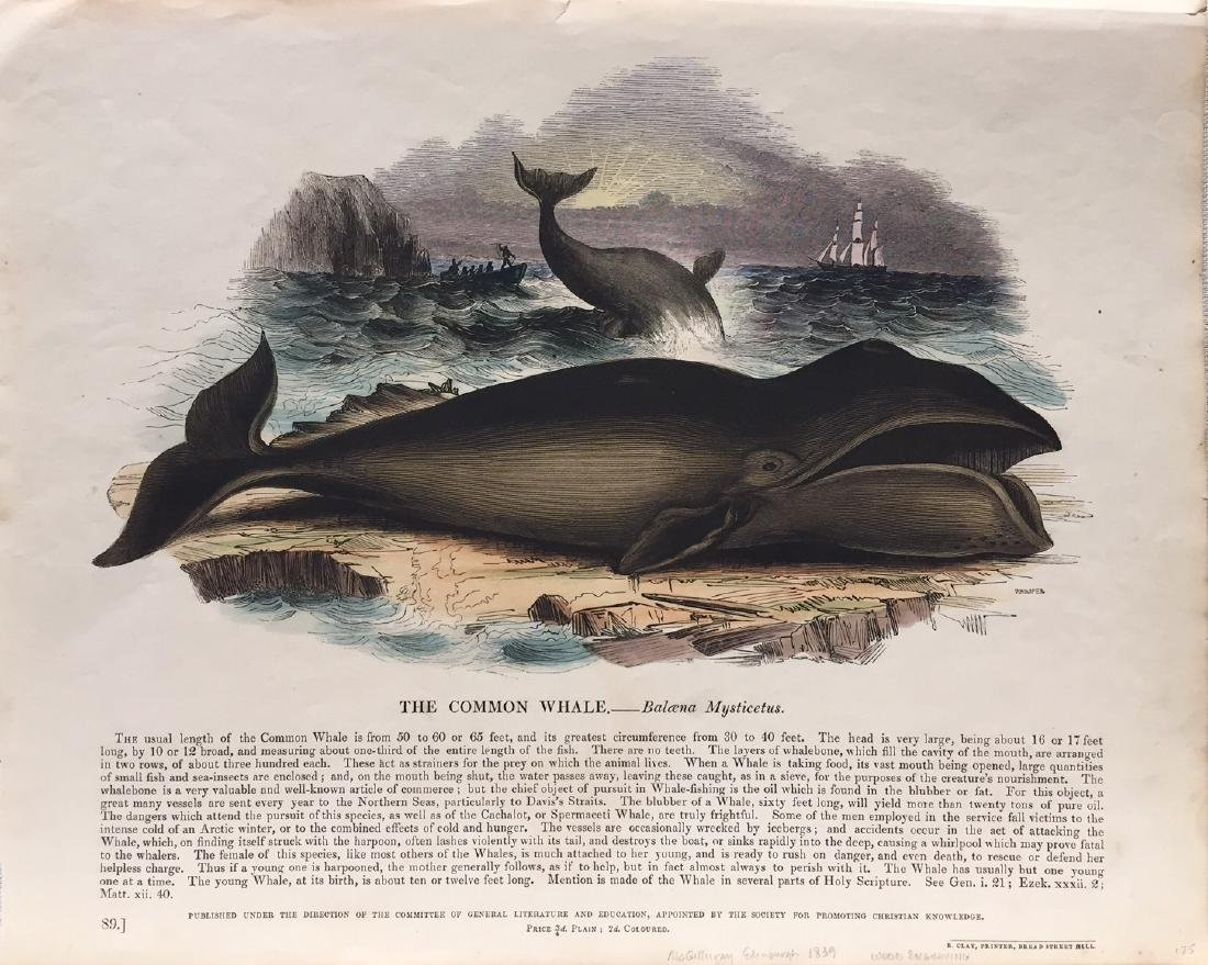 The Common Whale by McGillirray