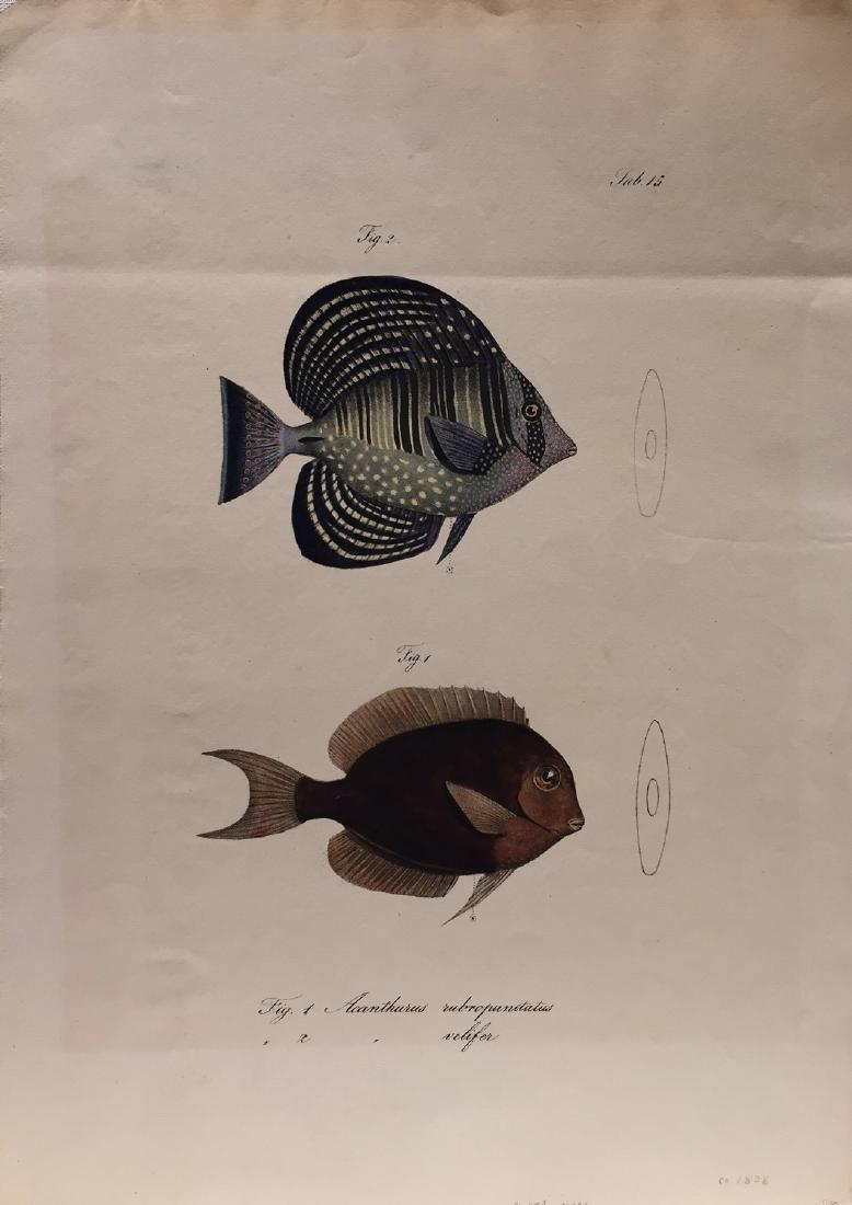 Fish Print Lithograph, 1828