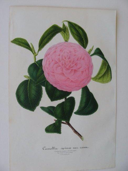 Sponeo Var. Rosea, Camellia