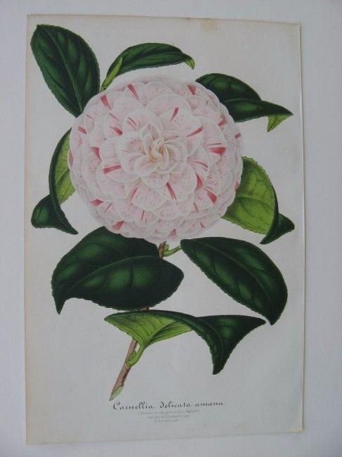 Delicata Amoena, Camellia