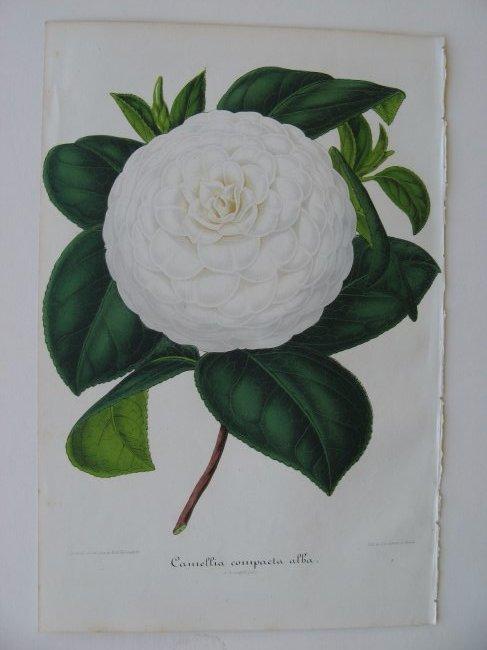Compacta Alba, Camellia