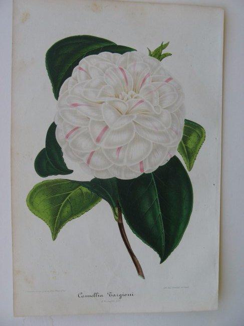 Targioni, Camellia