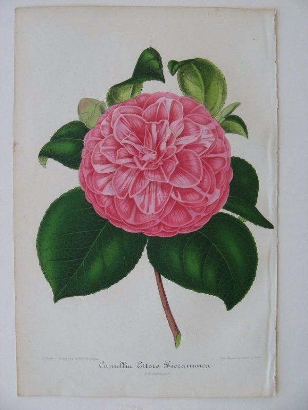 Ettore Fieramosca, Camellia