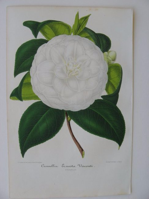 Ernesta Visconti, Camellia