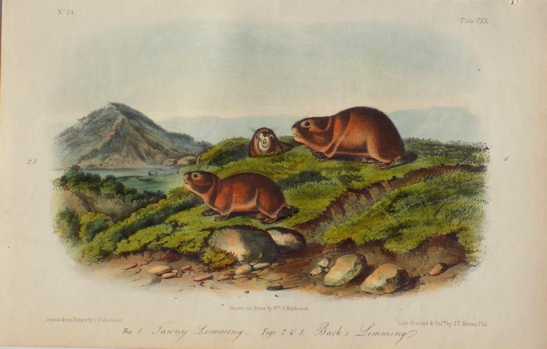 Audubon's Lemming