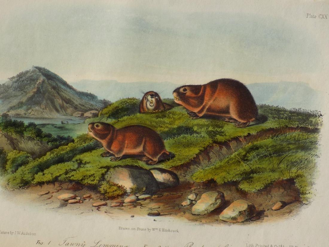 Audubon's Lemming - 2