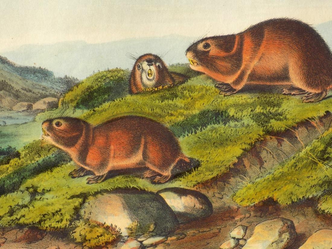 Audubon's Lemming - 3