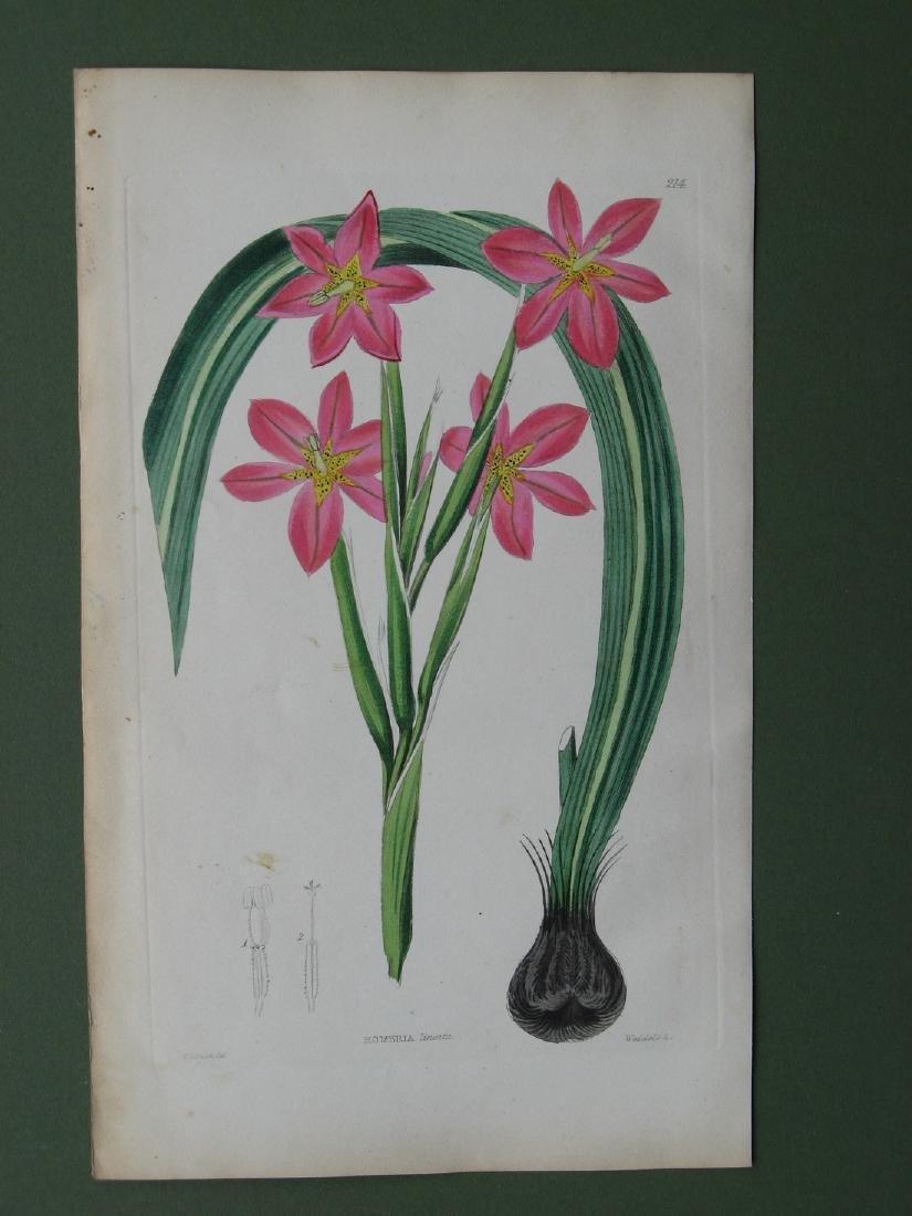 Botanical print: Homeria Lineata