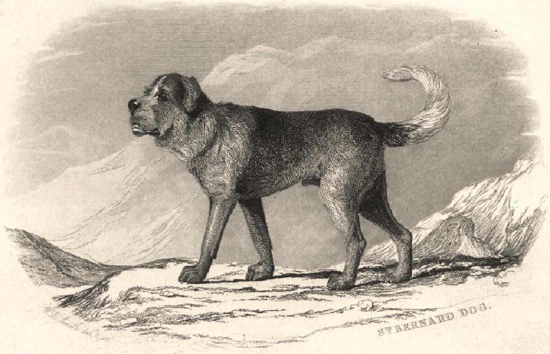 Edward Jesse: Dogs: St. Bernard Dog, 1888