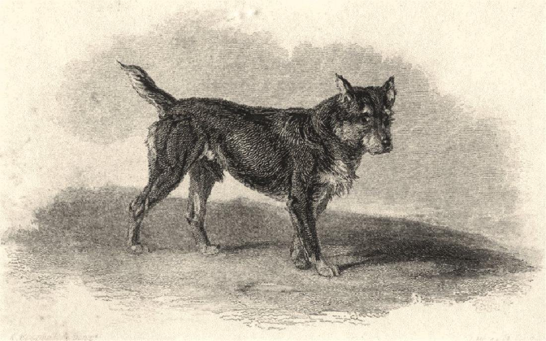 Edward Jesse: Dogs: Terrier Black And Tan, 1888