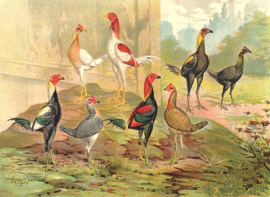 Birds: Cockfighting, 1900