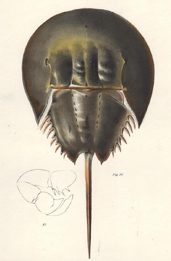 1843 DeKay Hand Colored Horseshoe Crab