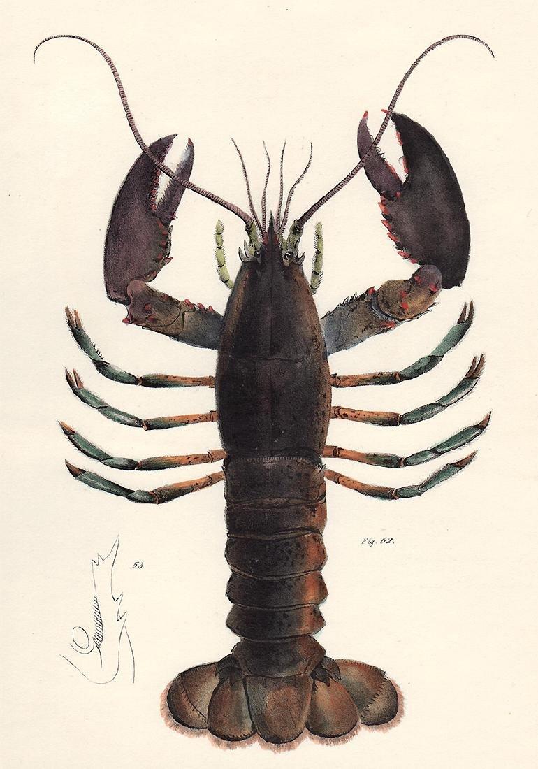 1843 DeKay Hand Colored American Lobster