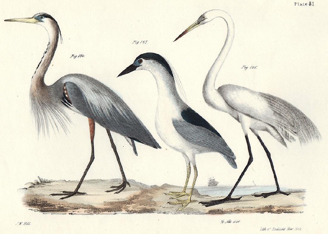 1844 DeKay Hand Colored Herons