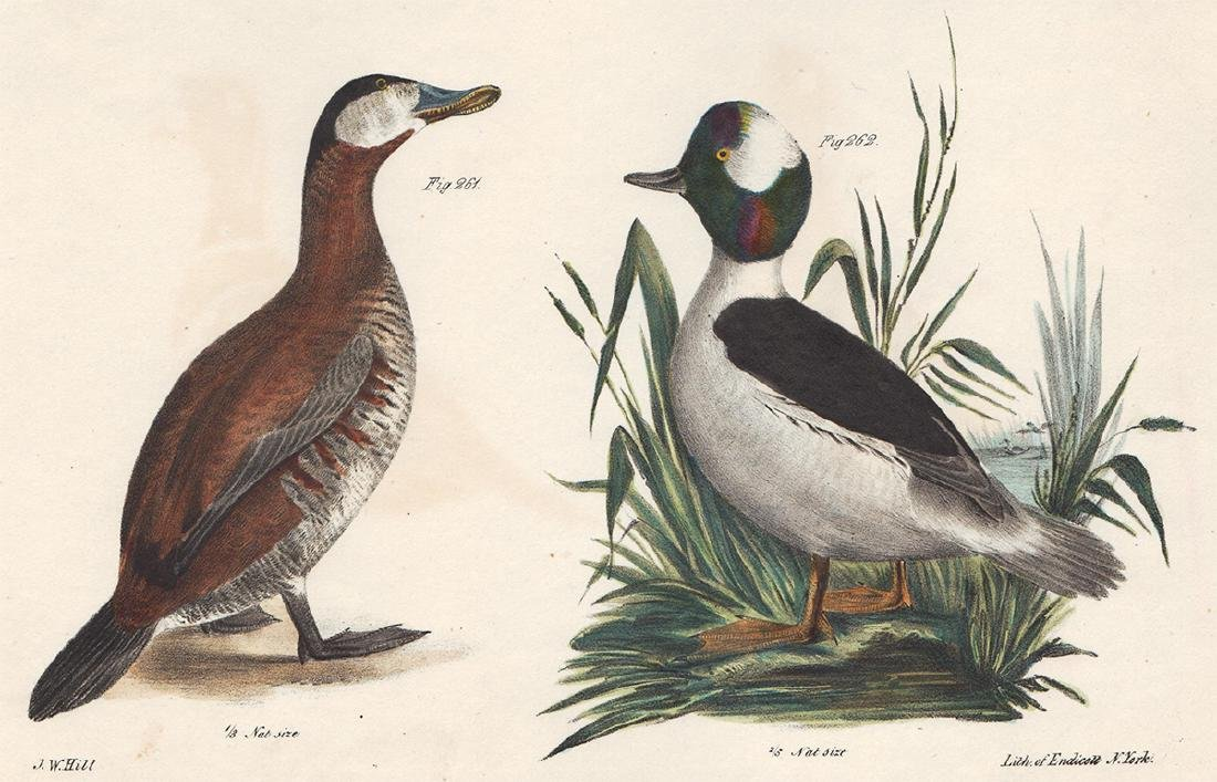 1844 DeKay Hand Colored Ducks