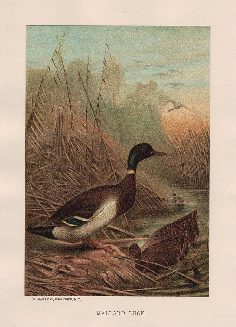 Mallard Duck by Louis Prang, 1885