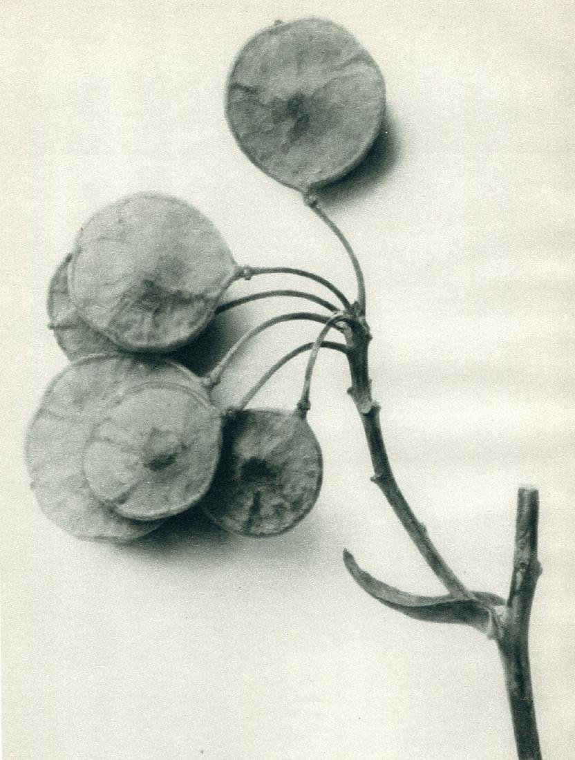 PROF. KARL BLOSSFELDT - Yellow Leaved Hop Tree