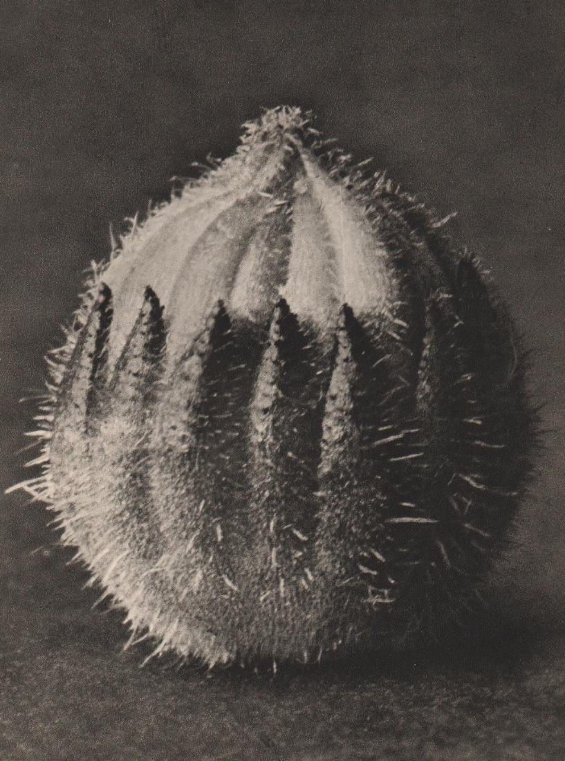 KARL BLOSSFELDT - Sempervivum Tectorum