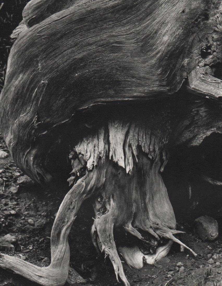 EDWARD WESTON - Tree Root