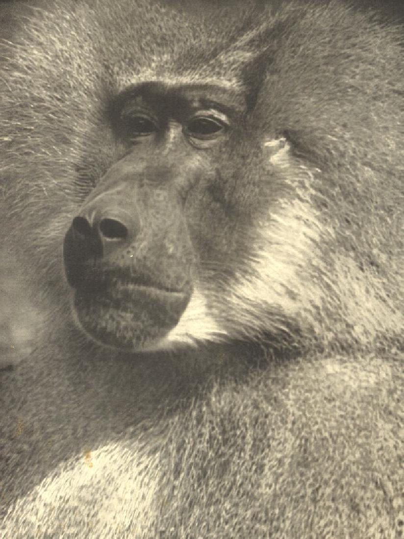 ALBERT RENGER-PATZSCH - Sacred Gray Baboon