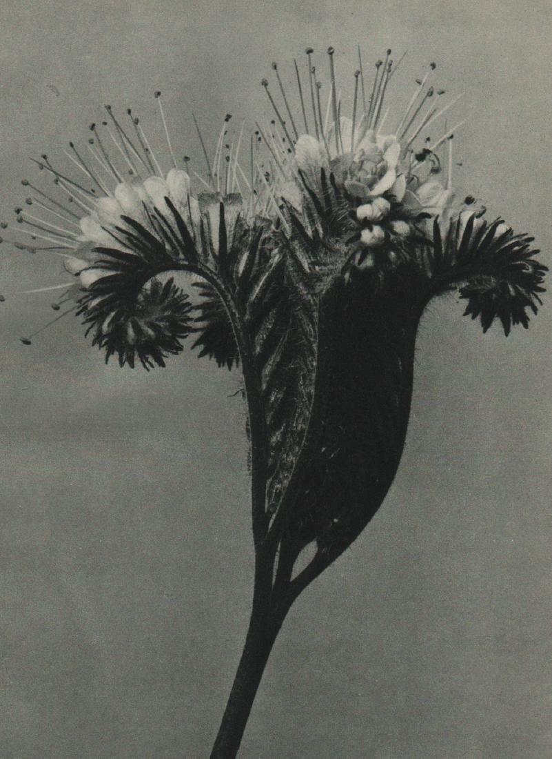 KARL BLOSSFELDT - Placelia tanacetifolia