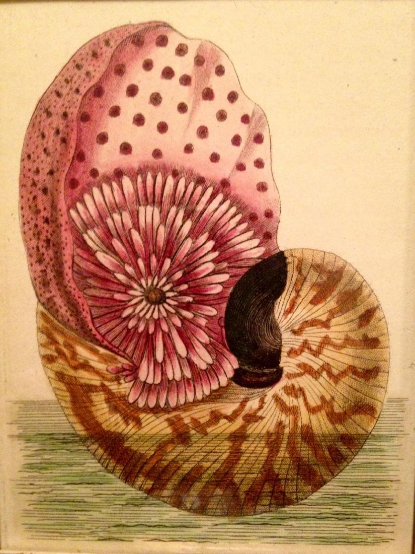 C 1800 Hand Painted Watercolor Engraving of Shell - 2