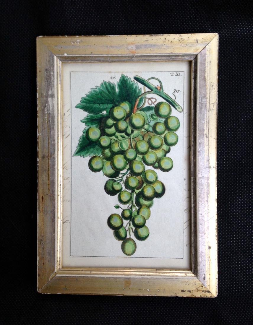 Circa 1800 Green Grapes Hand Colored Engraving