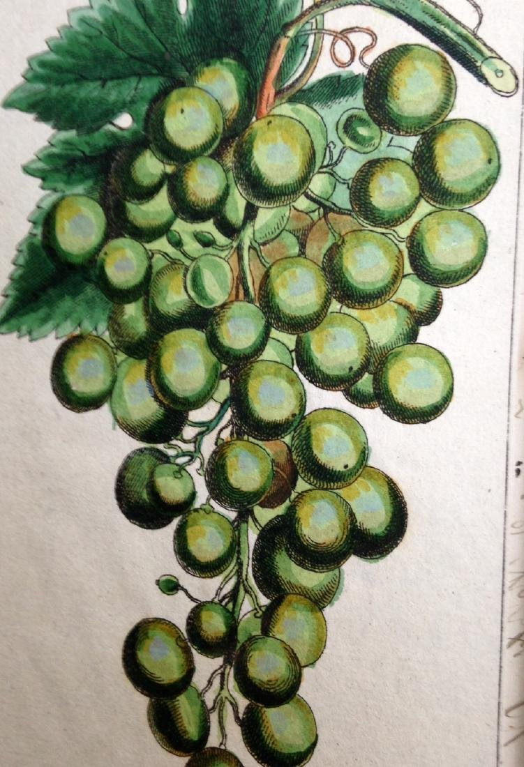 Circa 1800 Green Grapes Hand Colored Engraving - 2