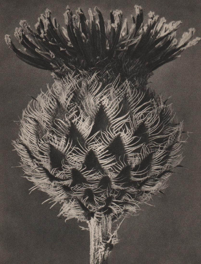 KARL BLOSSFELDT - Centaurea Kotshyana